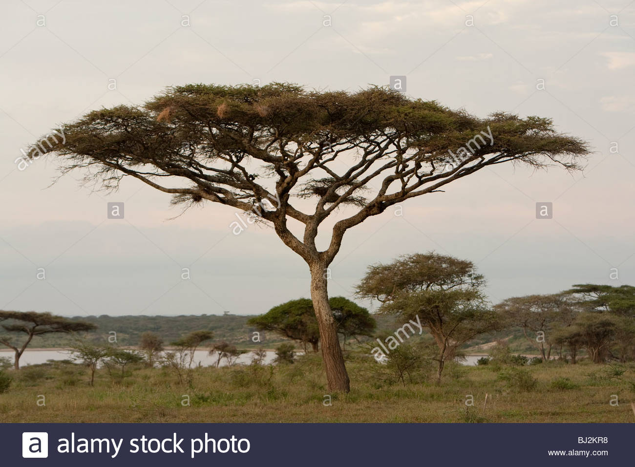An Umbrella Thorn Acacia Tortilis Tree At Lake Ndutu Serengeti