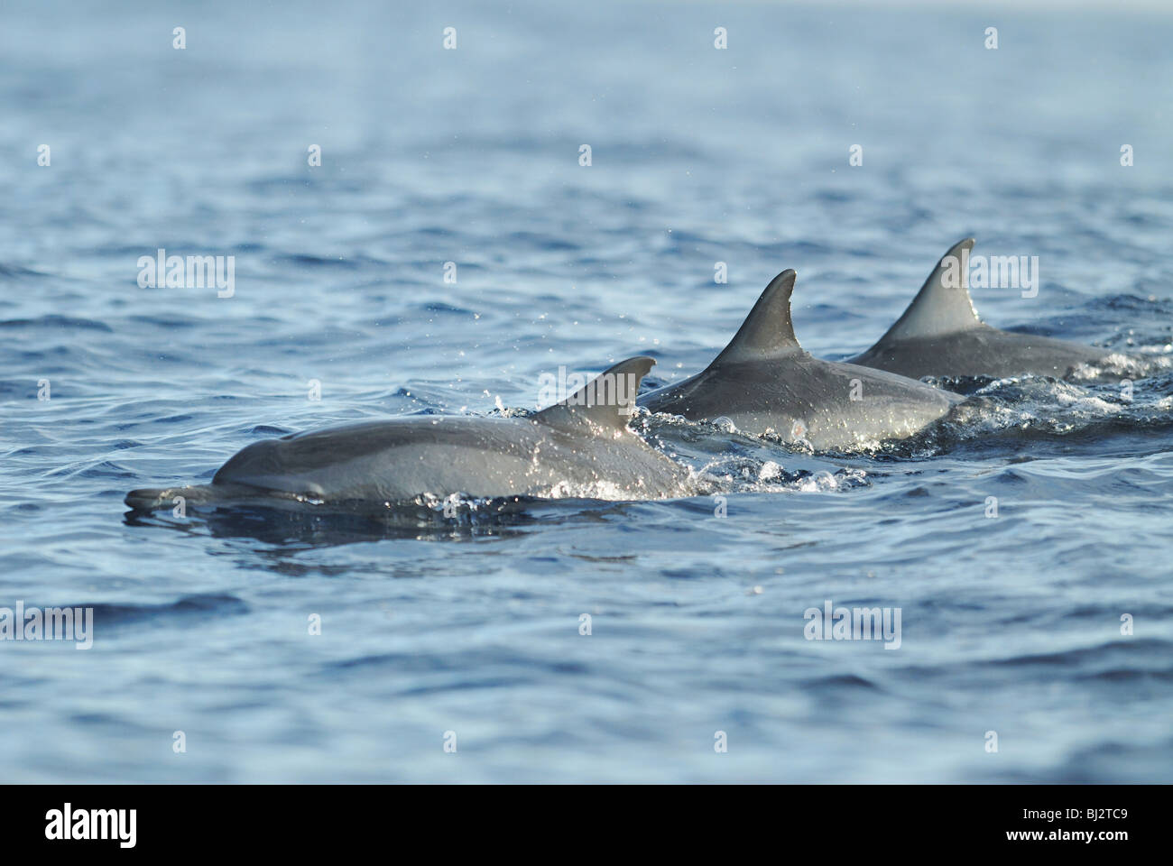 A pod of Indo-pacific Bottlenose Dolphins (Tursiops aduncus) in Lovina Bay, off the north coast of Bali, July 2007. - Stock Image