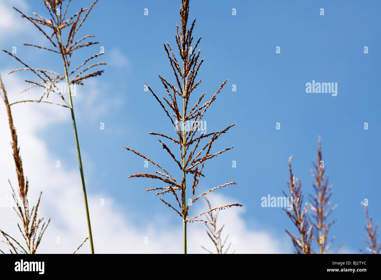 Stalks of tall grass carrying seed. Family: Poaceae. Midlands, Kwazulu Natal, South Africa. - Stock Image