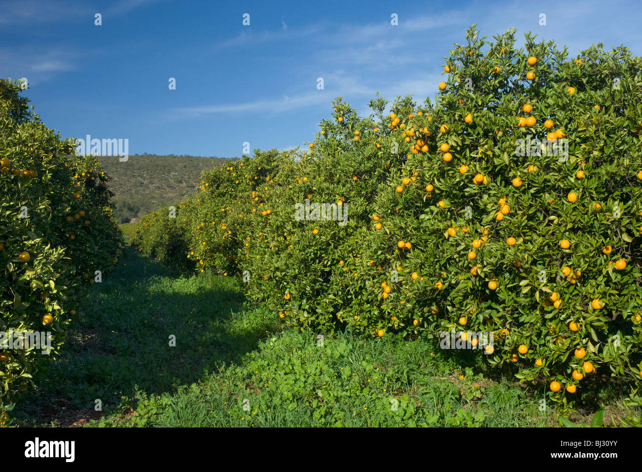 Portugal, the Algarve, an orange orchard inland - Stock Image