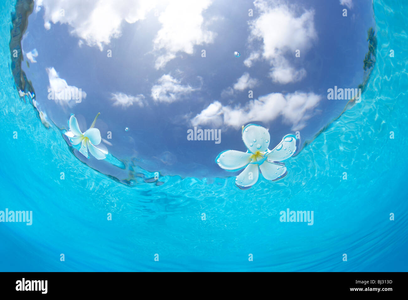 plumerias floating on the water - Stock Image