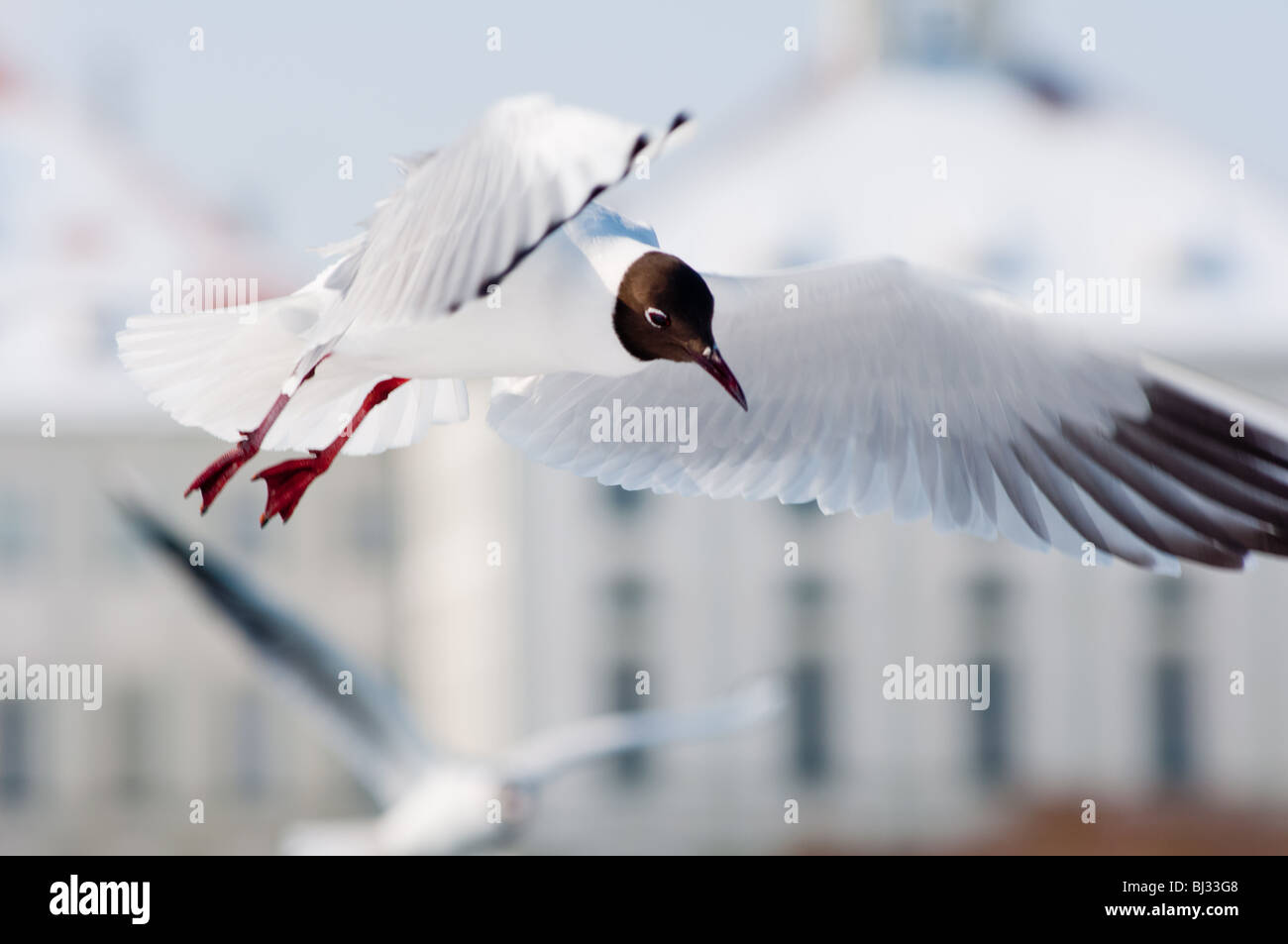 A Black-headed Gull (Chroicocephalus ridibundus) caught in mid flight at Nymphenburg palace in Munich, Germany. - Stock Image
