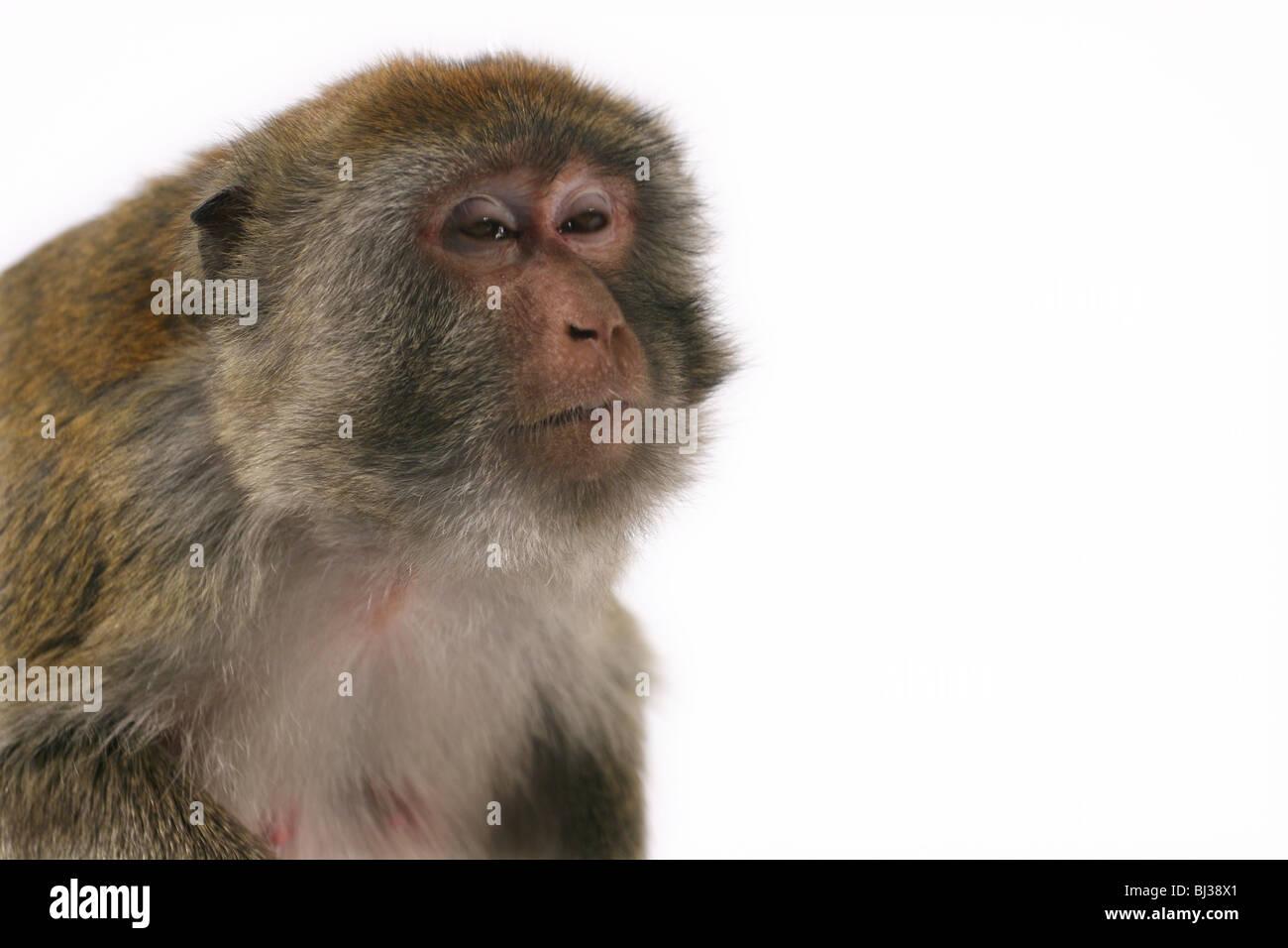 Monkey looking tired and sleepy - Stock Image