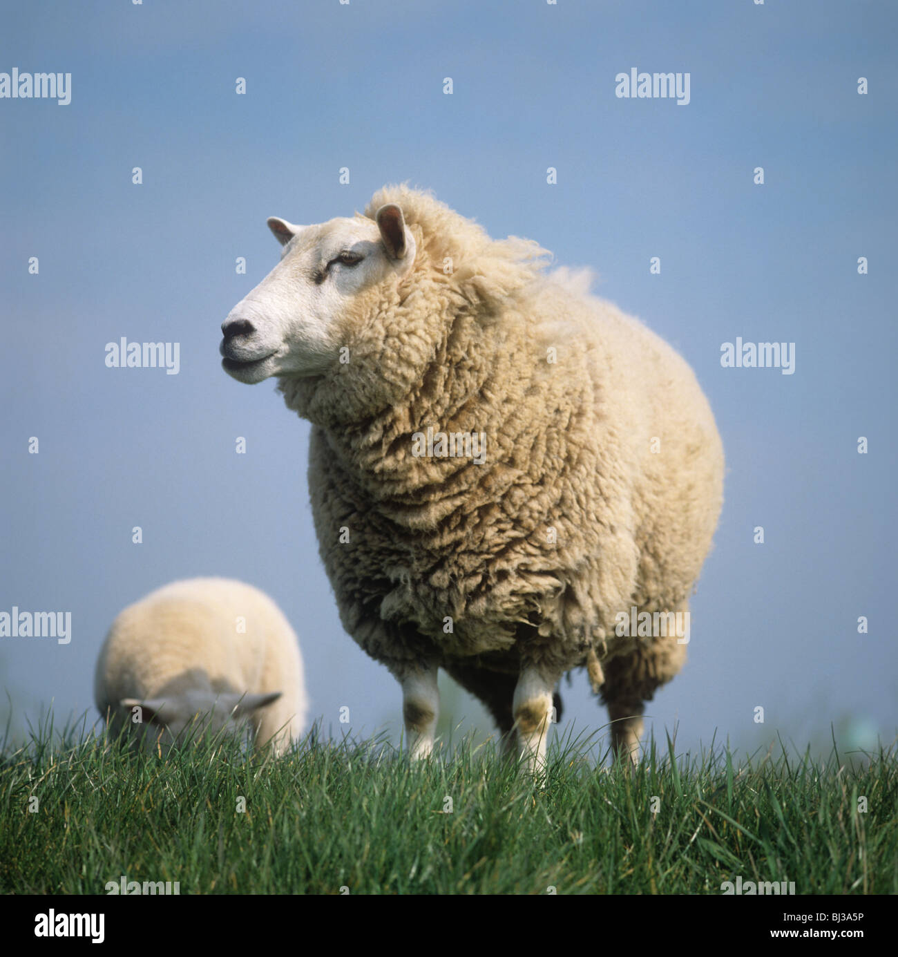Ewe sheep on grass on a canal bank set against the sky, Netherlands - Stock Image