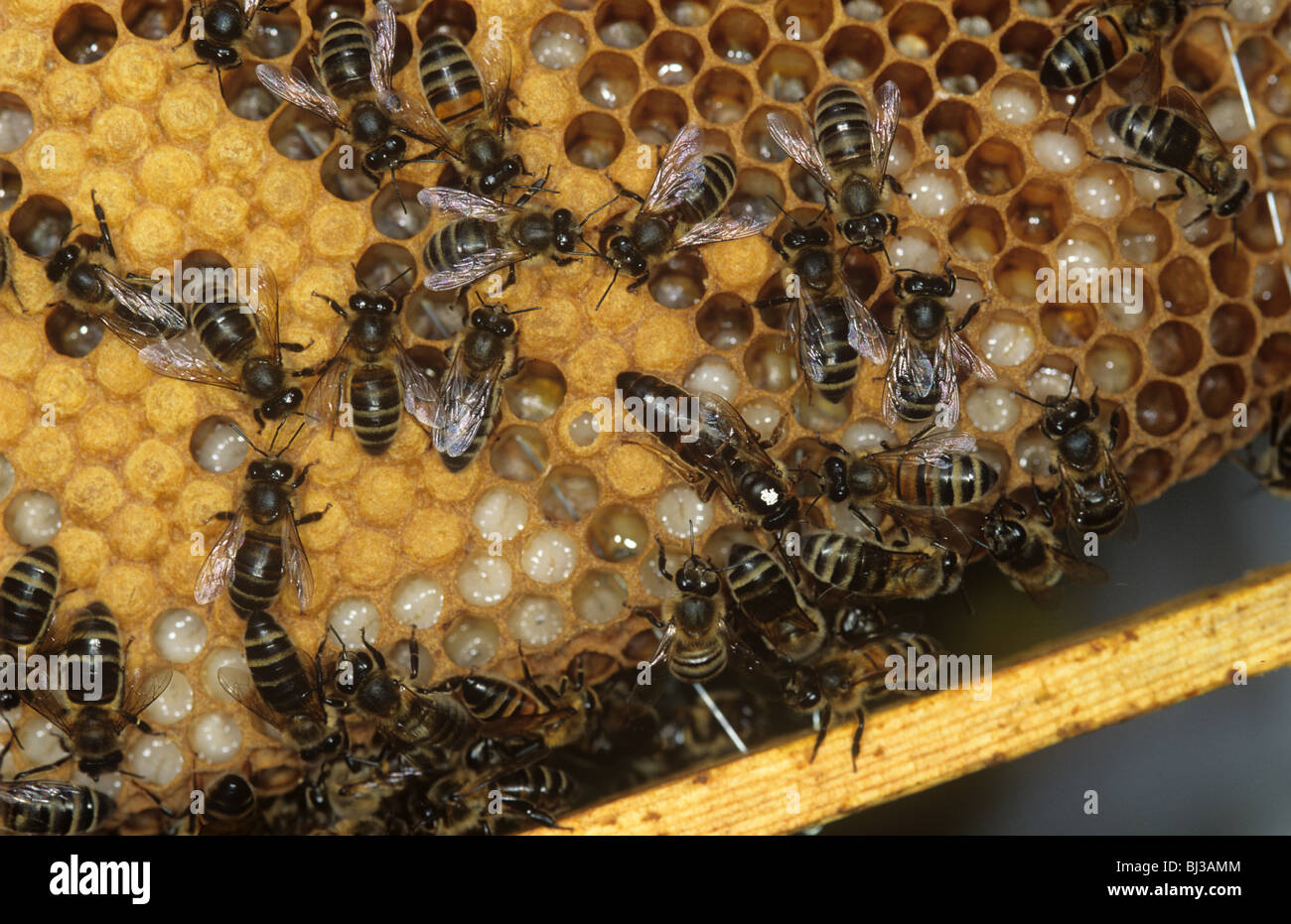 Honey bee (Apis mellifera) queen (white spot) and workers on hive brood cells - Stock Image