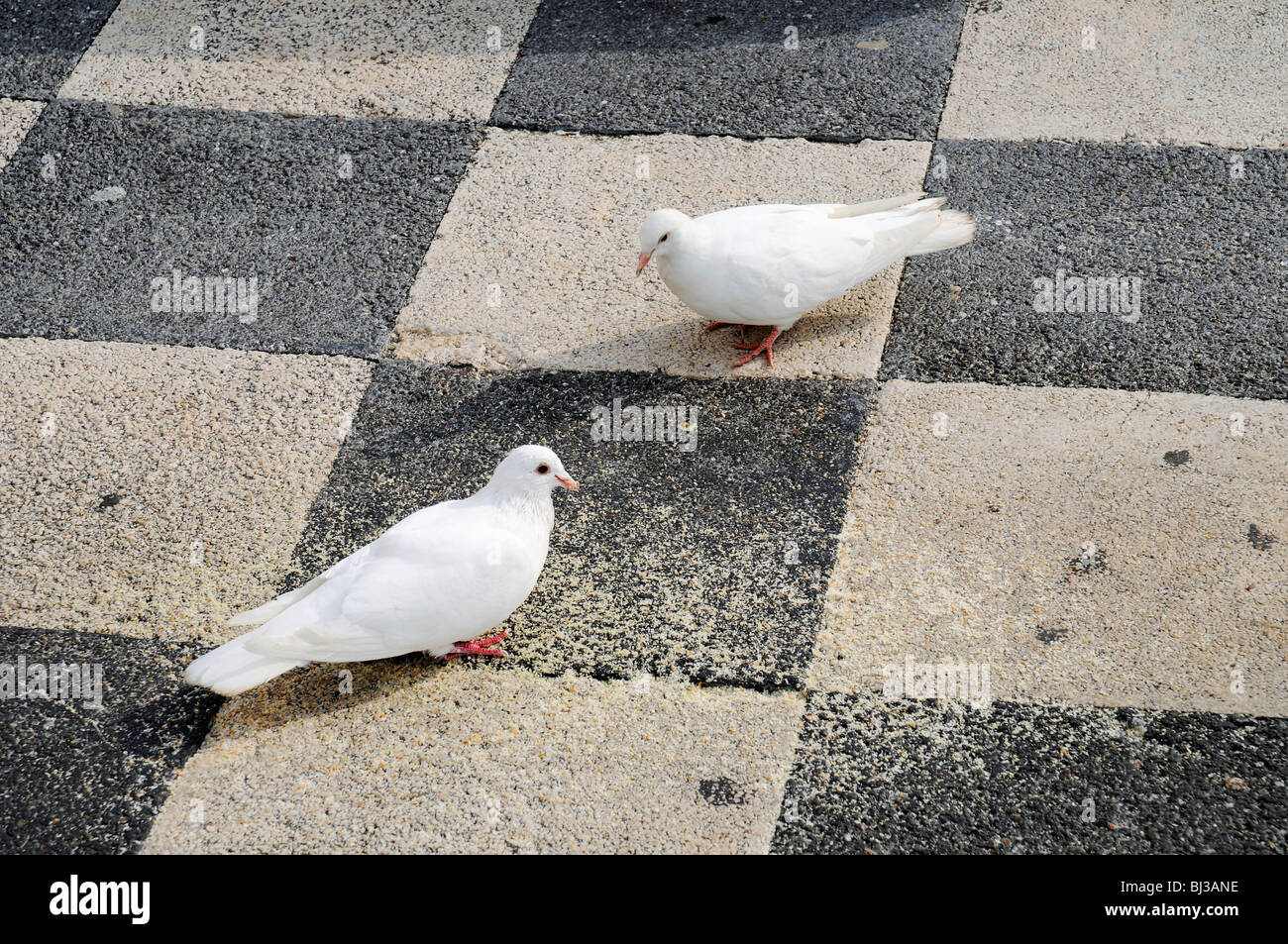 Doves, pavement, checkerboard pattern, Benidorm, Costa Blanca, Provinz Alicante, Spanien, Europa - Stock Image