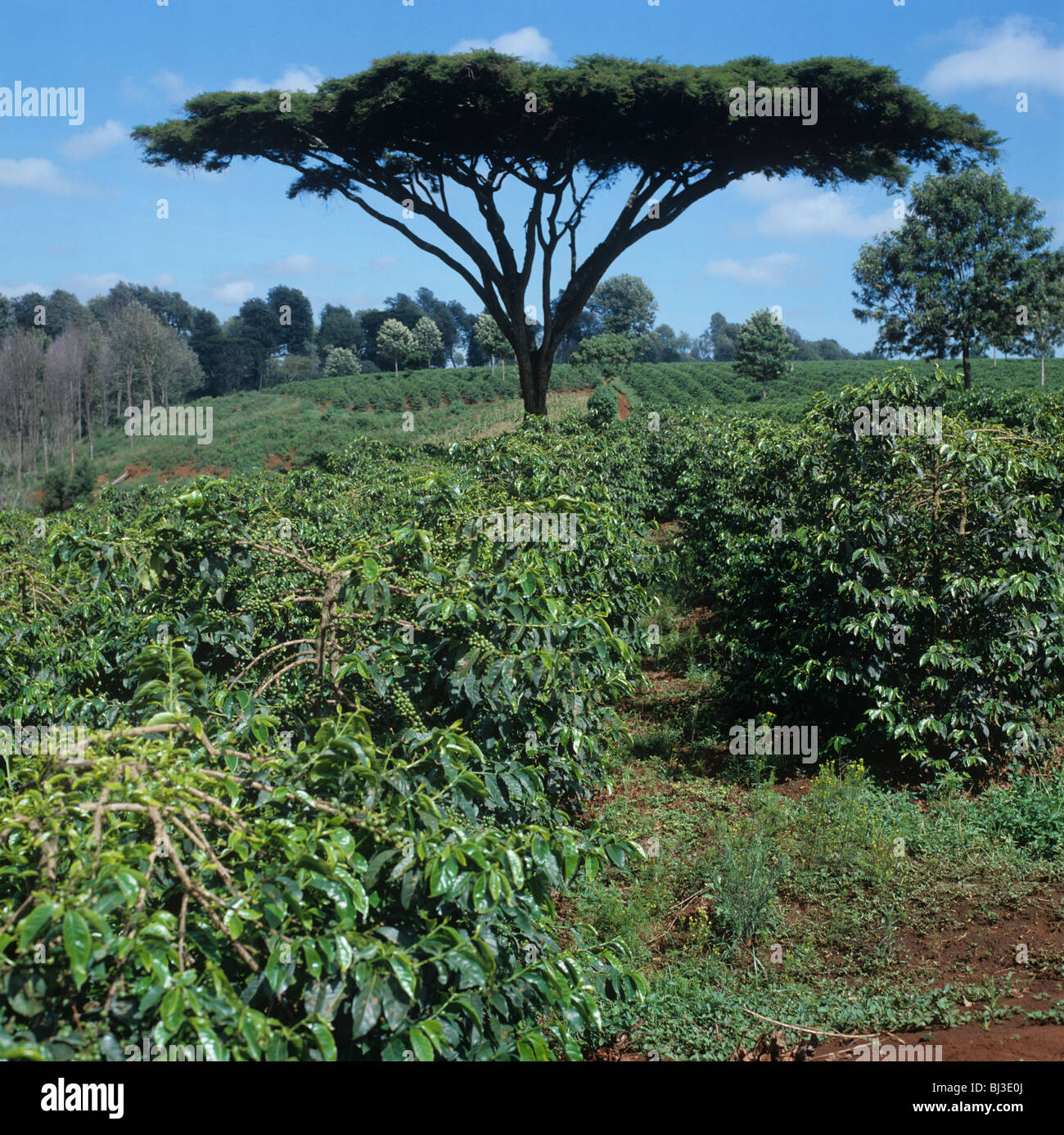 Arabica coffee plantion with Acacia thorn tree near Nairobi, Kenya - Stock Image