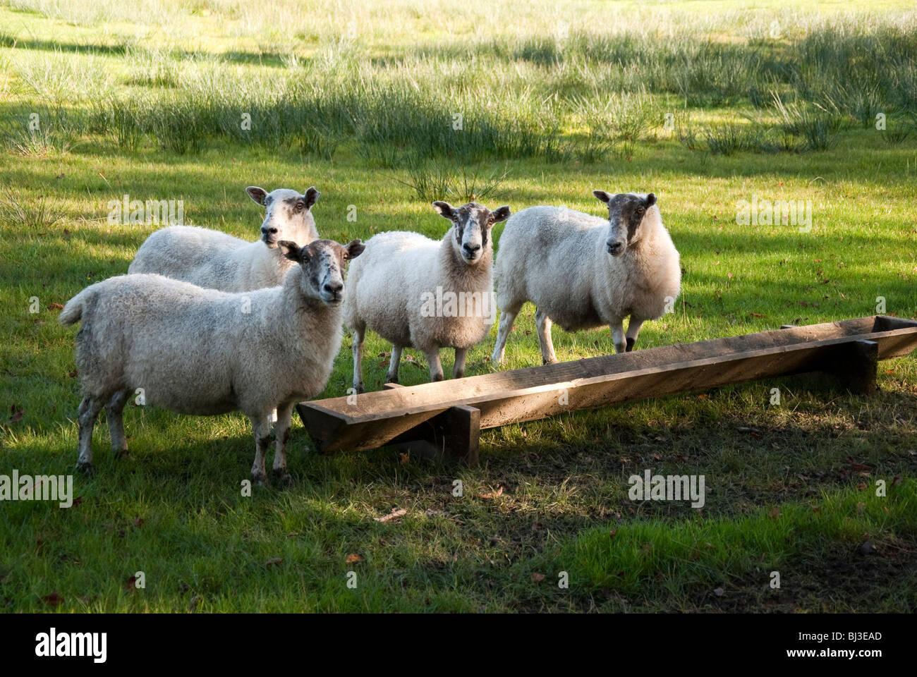 Sheep at the Trough - Stock Image