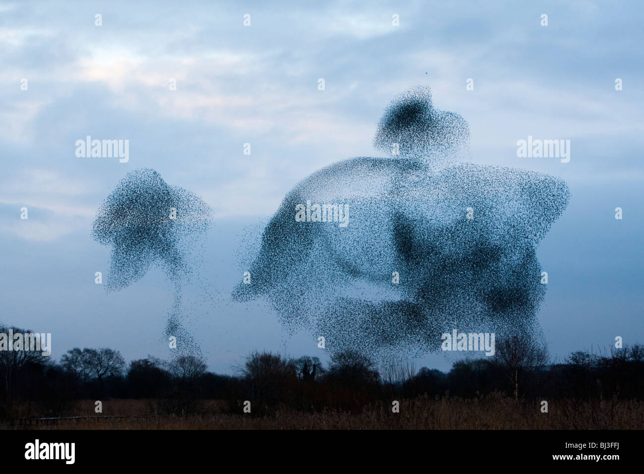 Starling (Sturnus vulgaris) flock or 'murmuration' above Ham Wall RSPB reserve Somerset UK winter - Stock Image