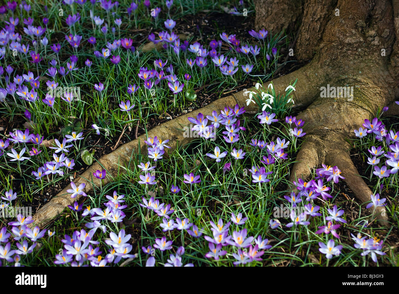 Crocus flowers and snowdrops around a tree root in Kew gardens - Stock Image