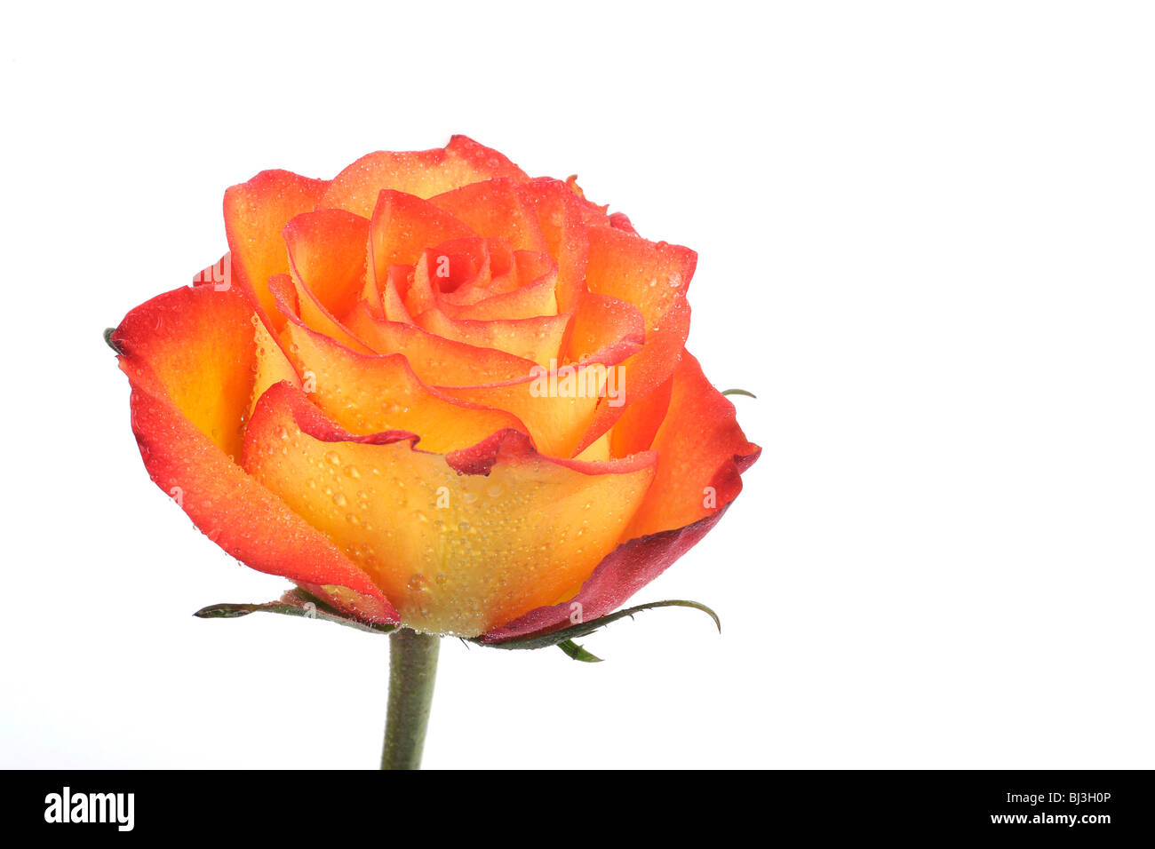 Rose (Rosa), with dew drops Stock Photo