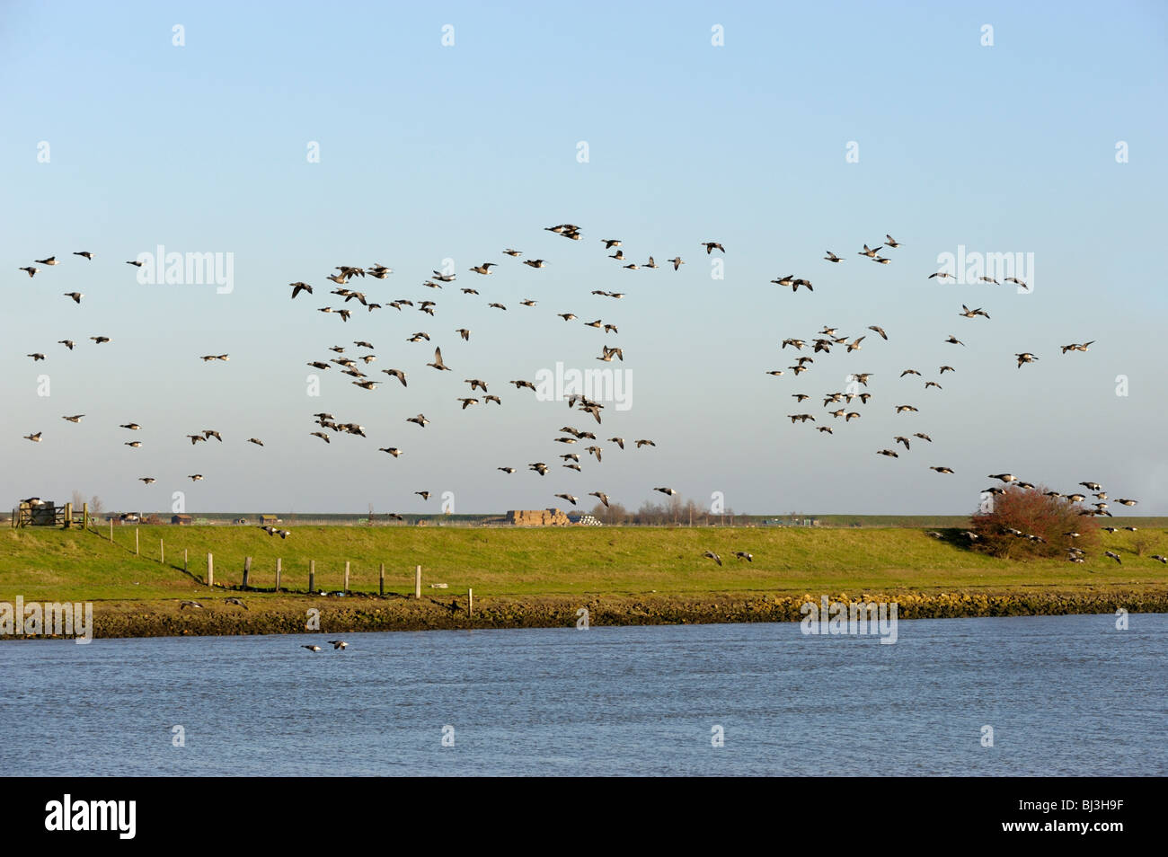 Brent Geese over the River Witham at Boston. - Stock Image