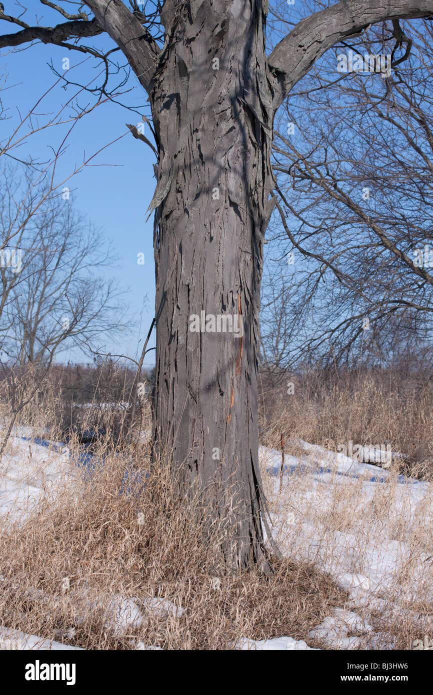Shagbark Hickory Tree Carya ovata Eastern United States - Stock Image