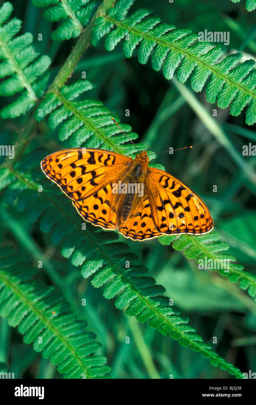 High Brown Fritillary (Argynnis adippe) on green fern - Stock Image