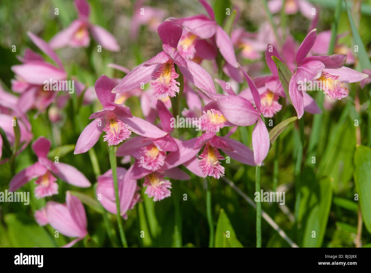 Rose pogonia orchids (Pogonia ophioglossoides) Stock Photo