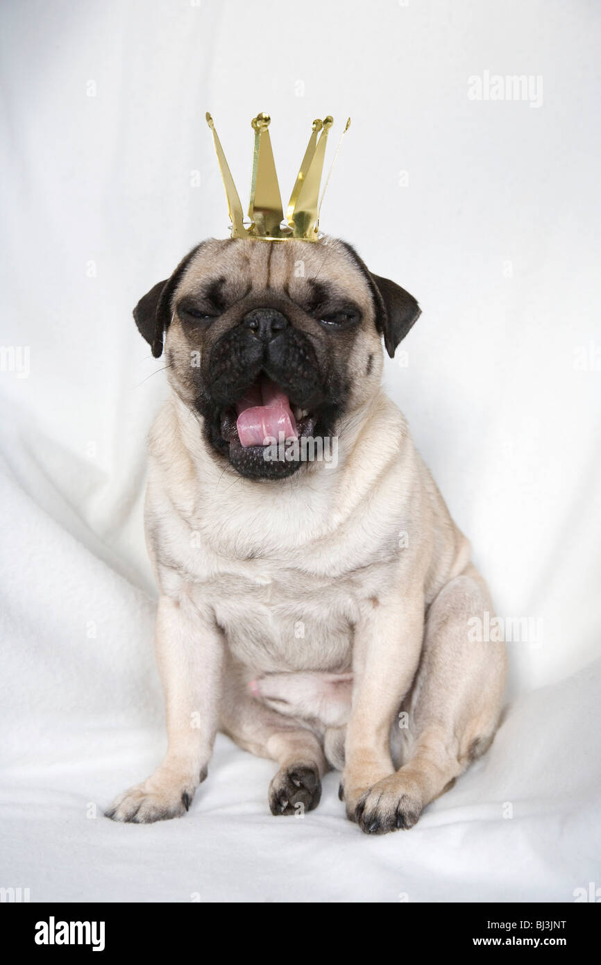Young pug with crown yawning - Stock Image