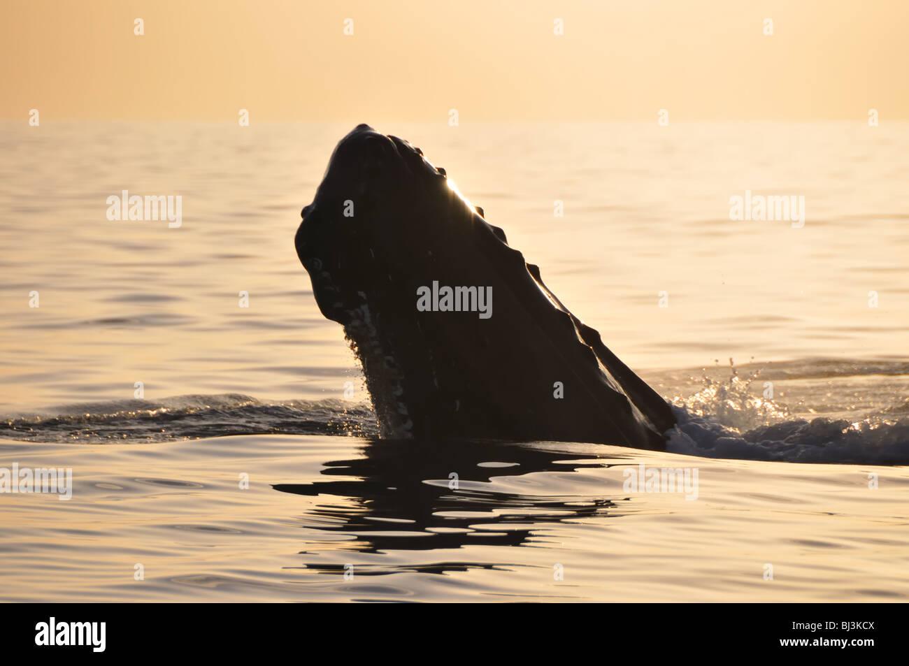 A Humpback whale spy-hops on a fine Maui morning. Stock Photo