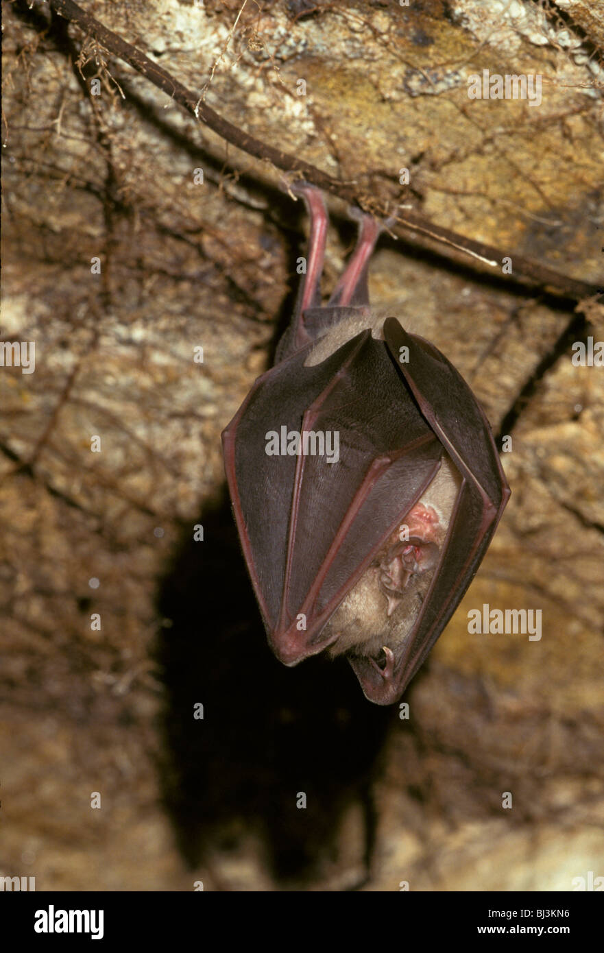 Greater Horseshoe Bat (Rhinolophus ferrumequinum) hibernating in cave, body wrapped in wings - Stock Image