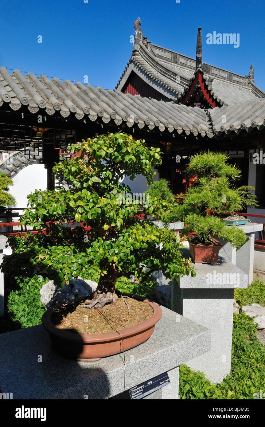 Bonsai Collection Chinese Garden Jardin Botanique De Montreal