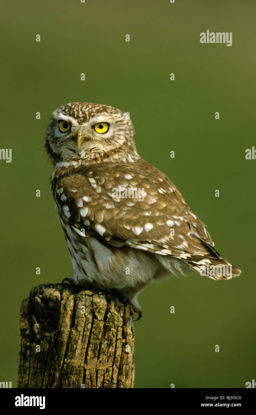 Little owl (Athene noctua), Hortobágy, Hungary, Europe - Stock Image