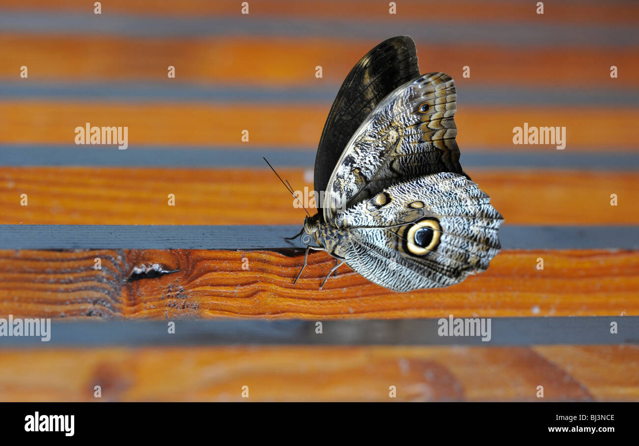 Owl butterfly (Caligo eurilochus), South America, Central America - Stock Image