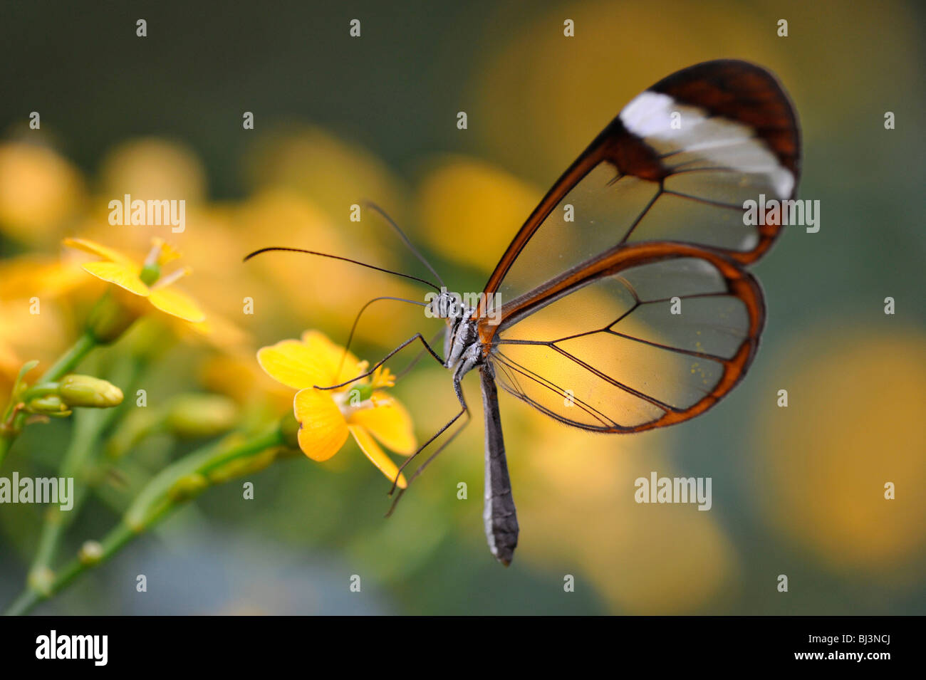 Glass wing butterfly (Greta oto), South America - Stock Image