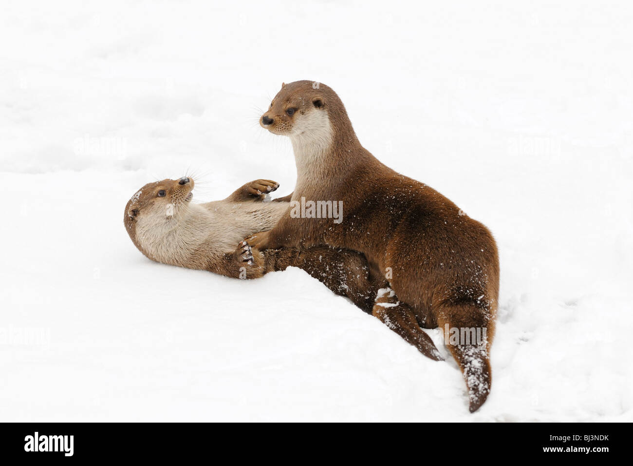 Otter (Lutra lutra) playing in the snow - Stock Image