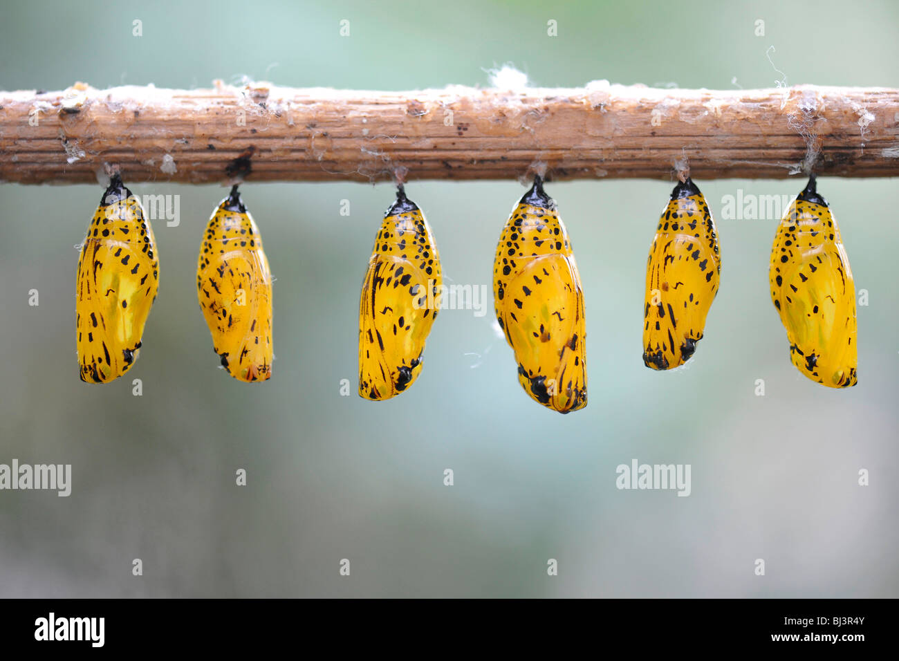 Paper Kite or the Rice Paper butterfly (Idea leuconoe), chrysalis - Stock Image