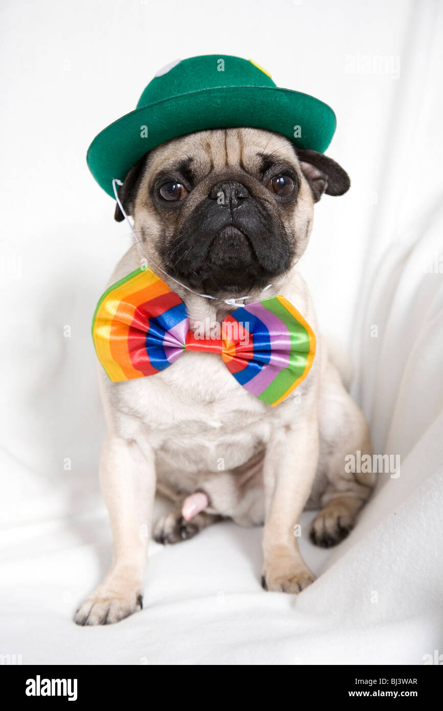 Young pug with a green hat and a colorful bow tie - Stock Image