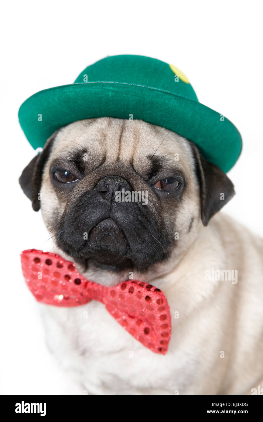 Young pug with a green hat and a red bow tie - Stock Image