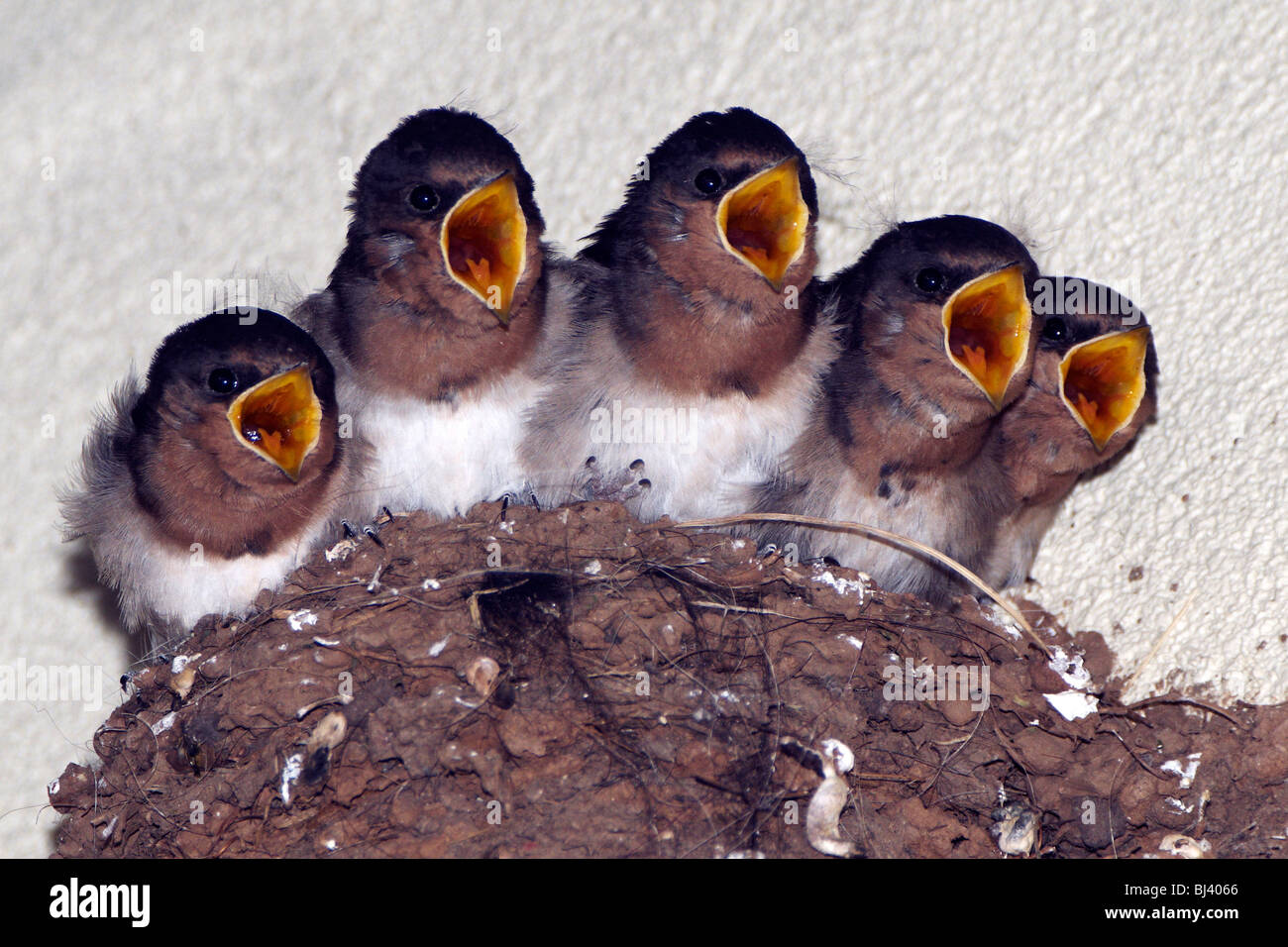 Welcome Swallow chicks begging to be fed by their mother. - Stock Image