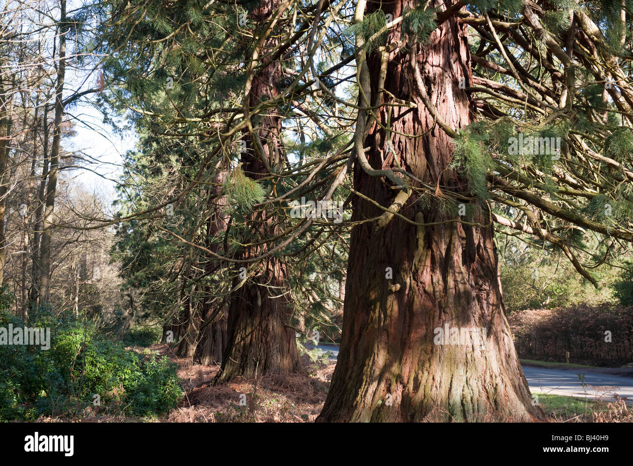 Californian Redwood Wellingtonia trees (Sequoiadendron Giganteum) Crowthorne Berkshire-1 - Stock Image