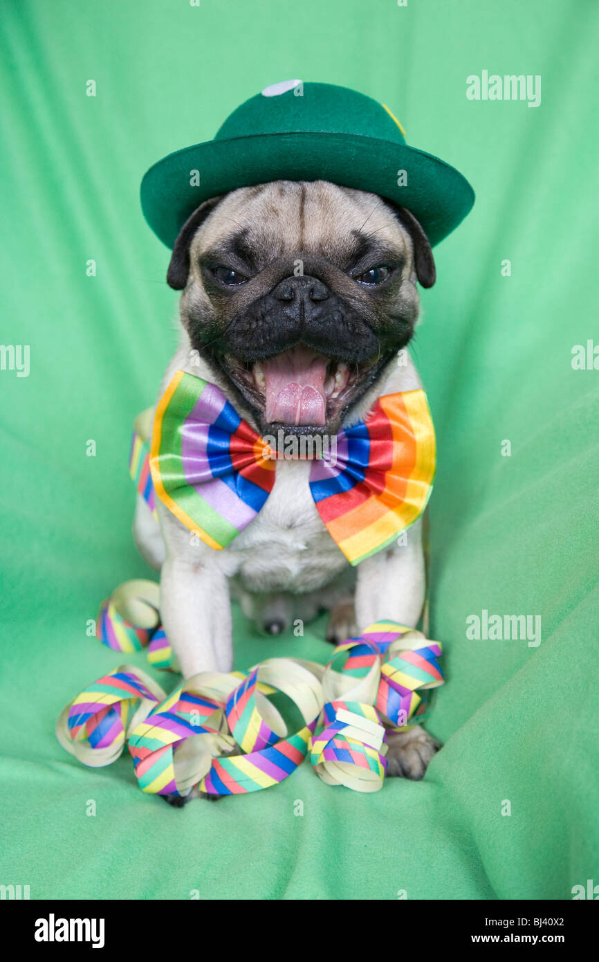 Young pug with a green hat, a colorful bow tie and streamers yawning heartily - Stock Image
