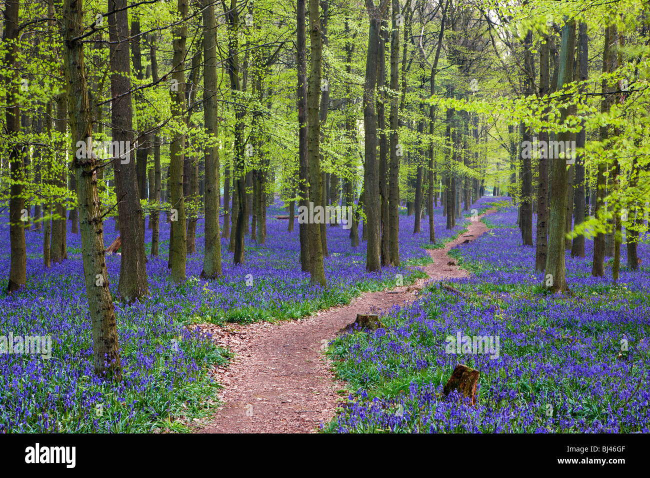 Pathway through a bluebell wood - Stock Image