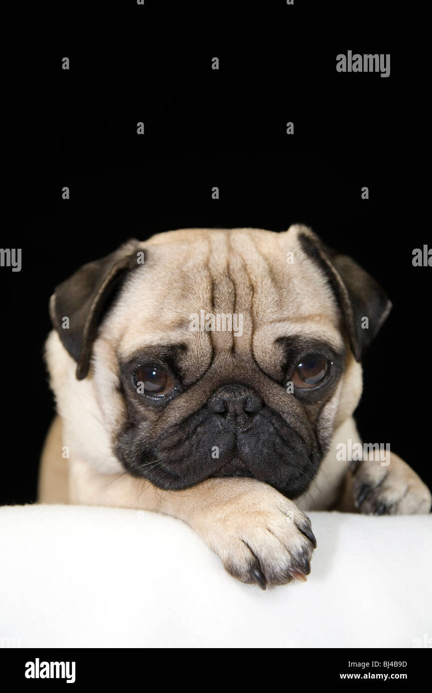 Young pug, portrait - Stock Image