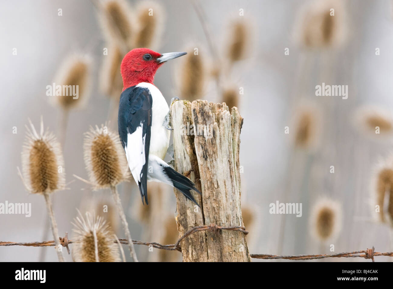 Red-headed Woodpecker on Fence Post Stock Photo