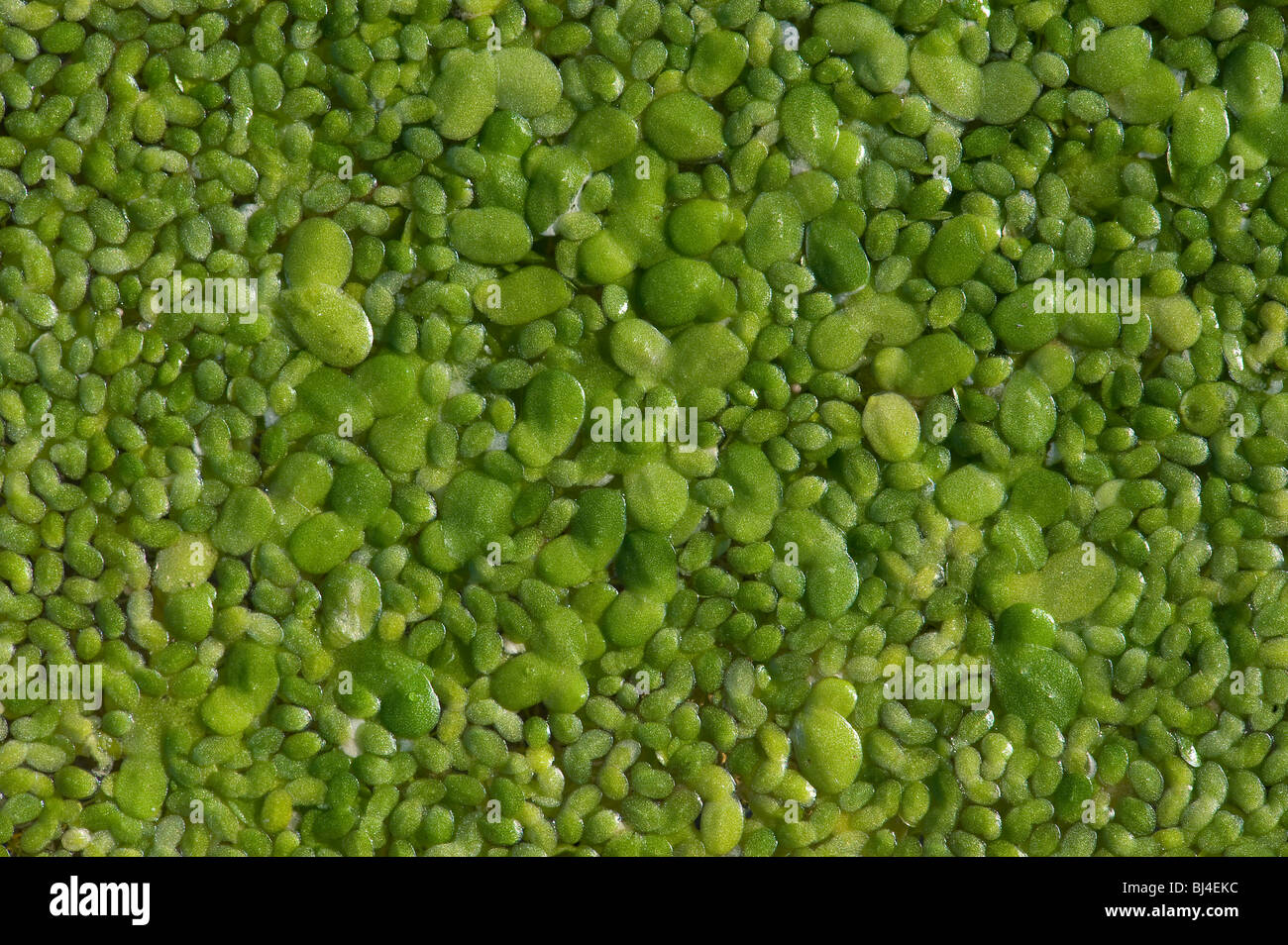 Lesser duckweed, Lemna minor, floats on water surface - Stock Image