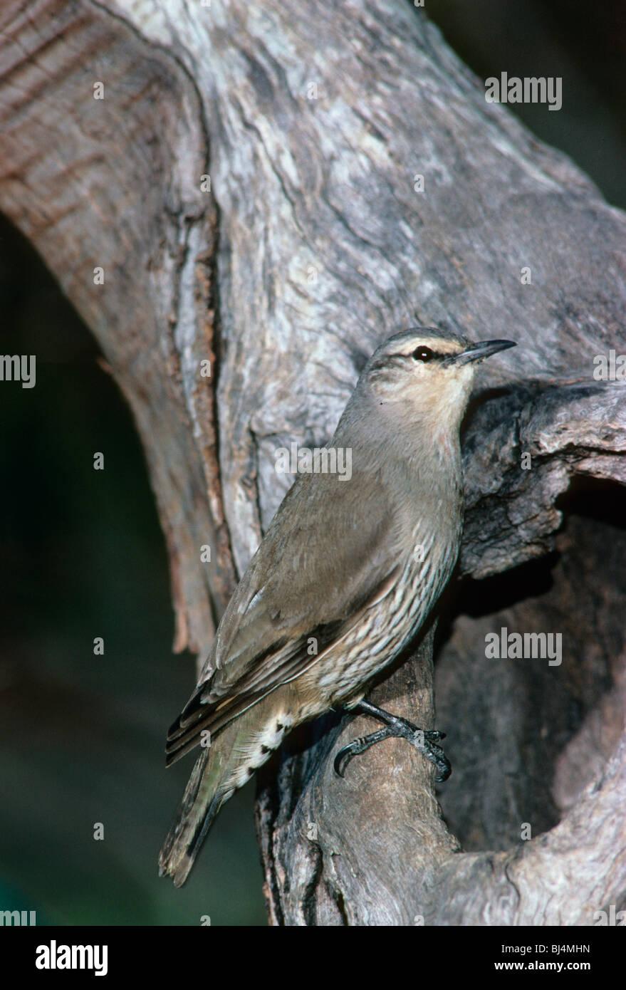 Brown Treecreeper (Climacteris picumnus) at nest hole, Australia - Stock Image