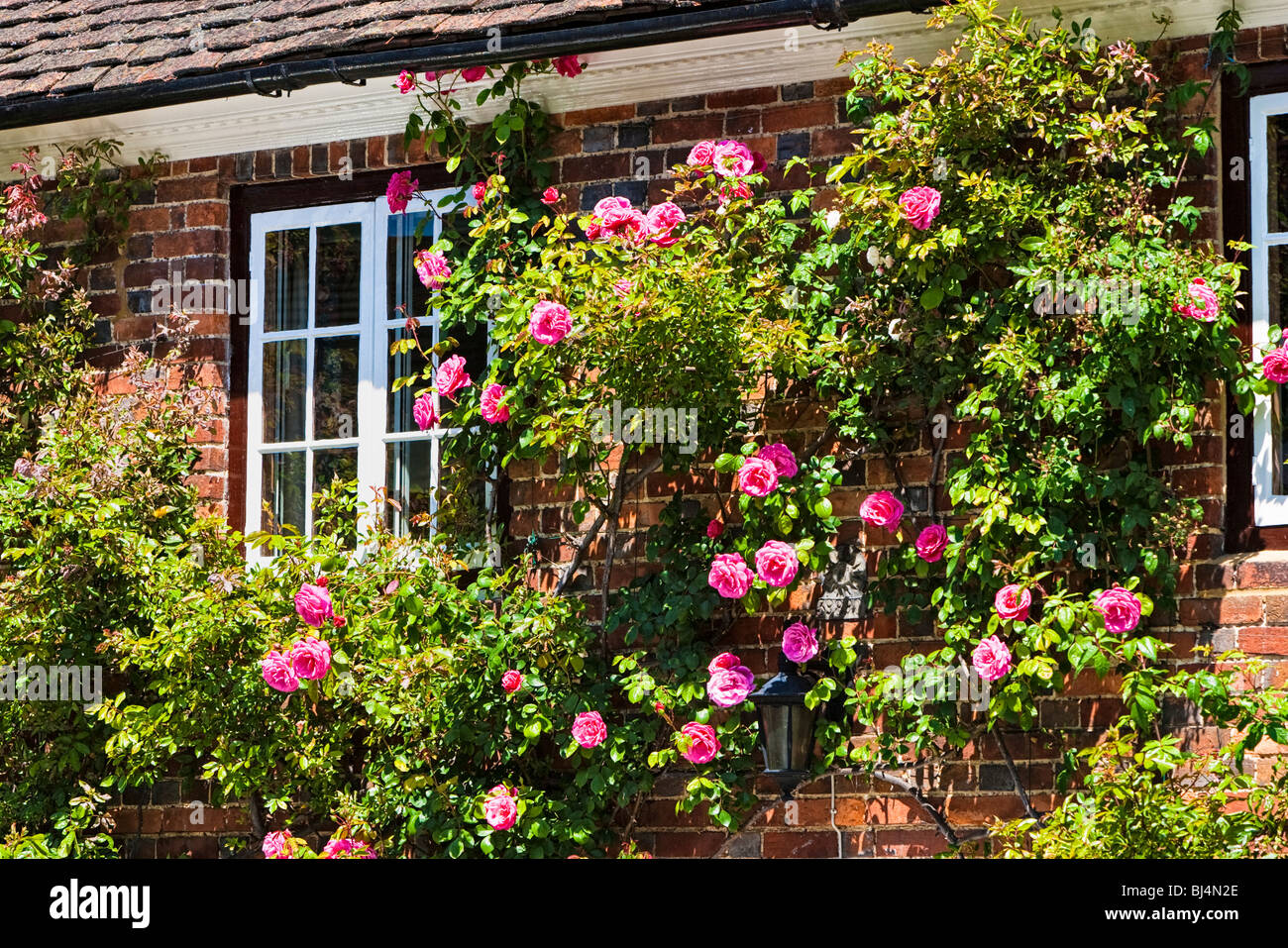 English country cottage with pink roses Surrey, England, UK - Stock Image