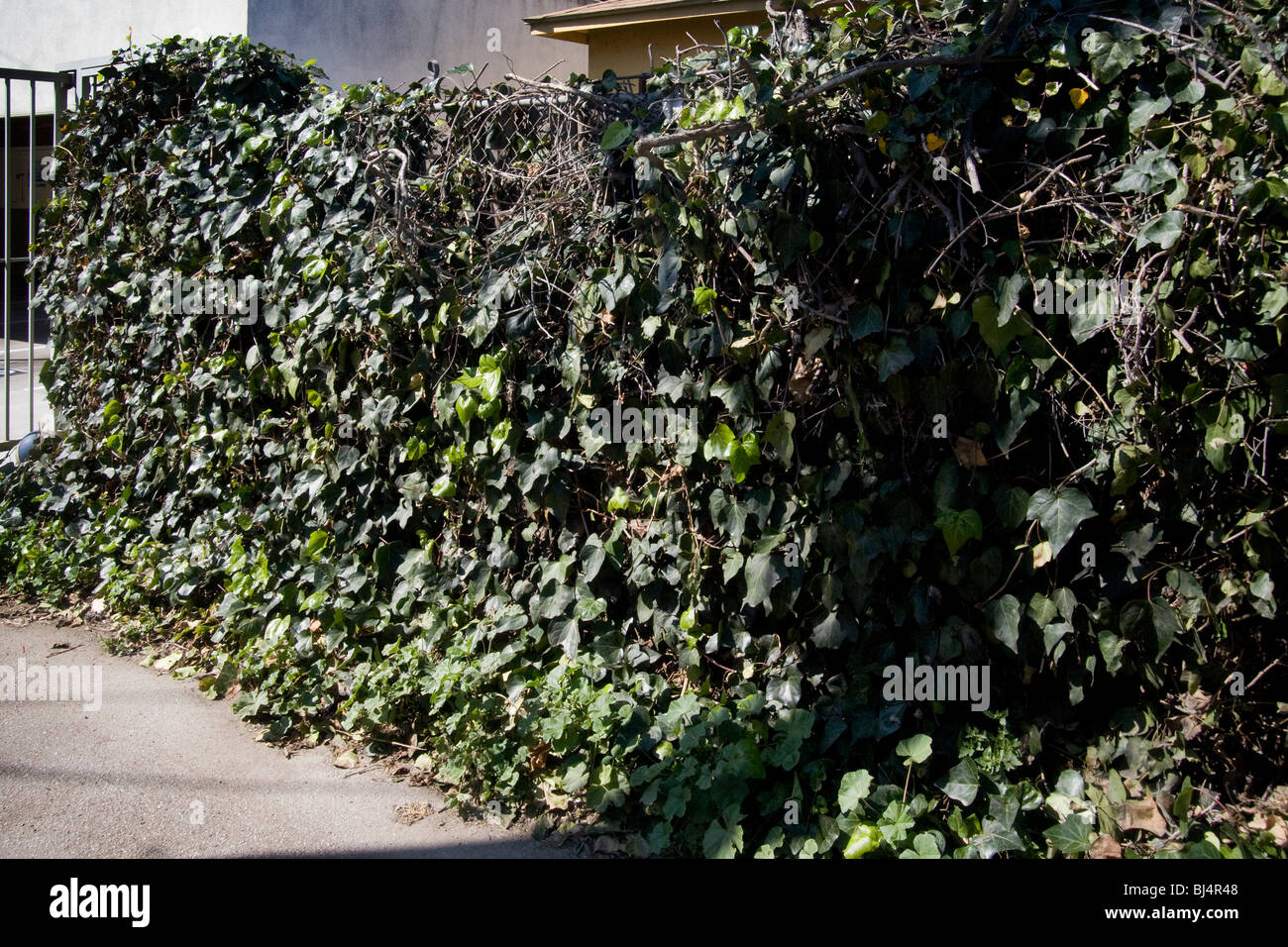 An Algerian Ivy Vine On A Chain Link Fence Illustrates The