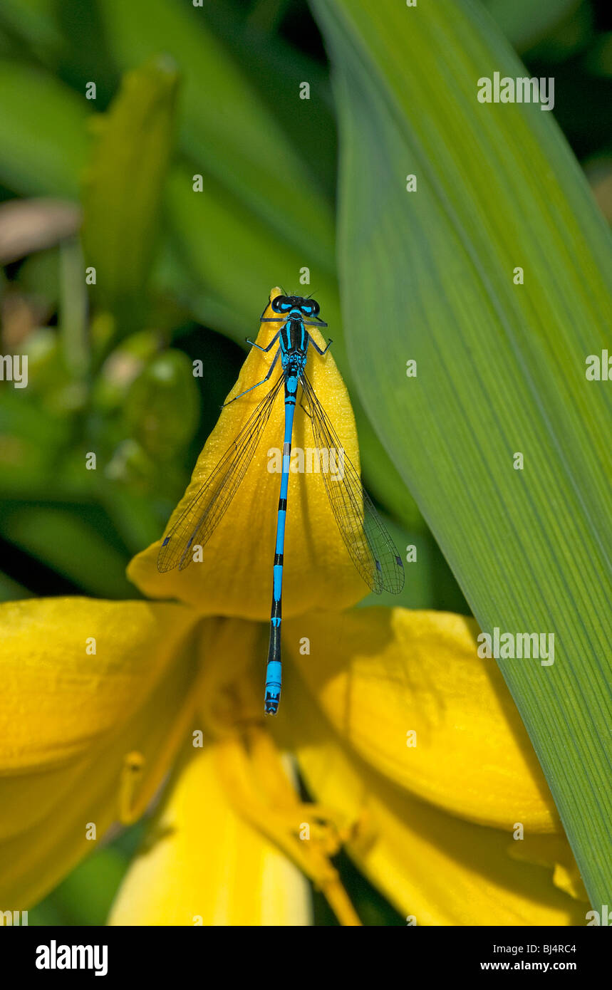 Azure damselfly Coenagrion puella perching on daylily - Stock Image