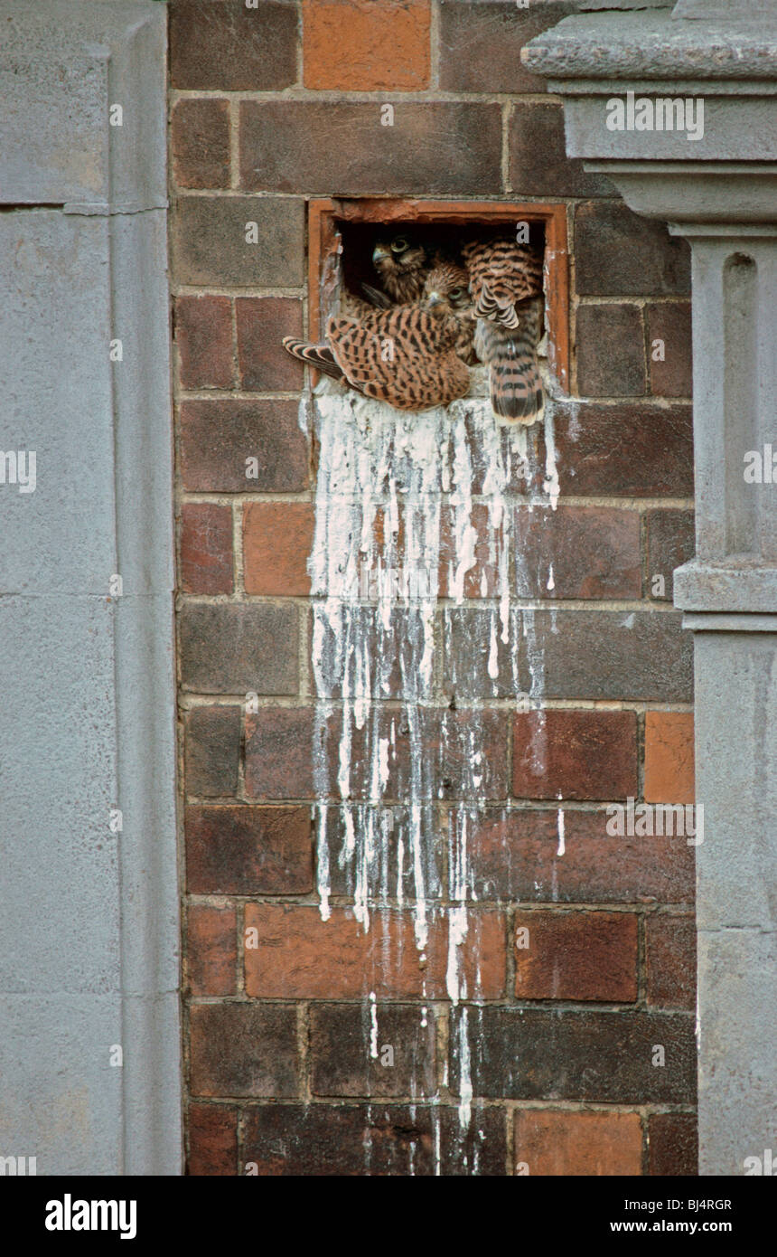 Common Kestrel (Falco tinnunculus) young, nesting in factory wall airbrick Stock Photo