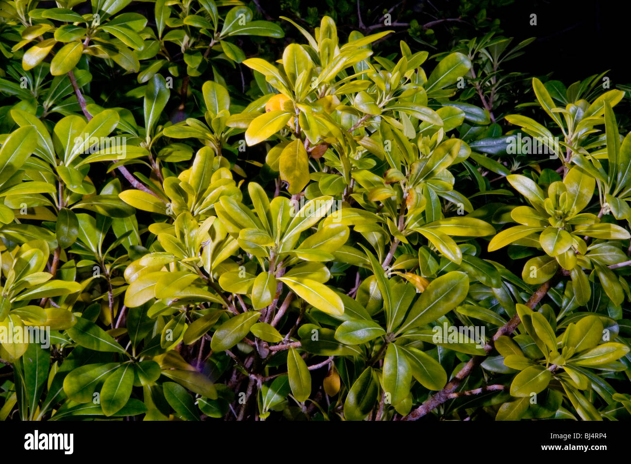 Yellow Leaves Of Pittosporum Plants In California Indicate The Stock
