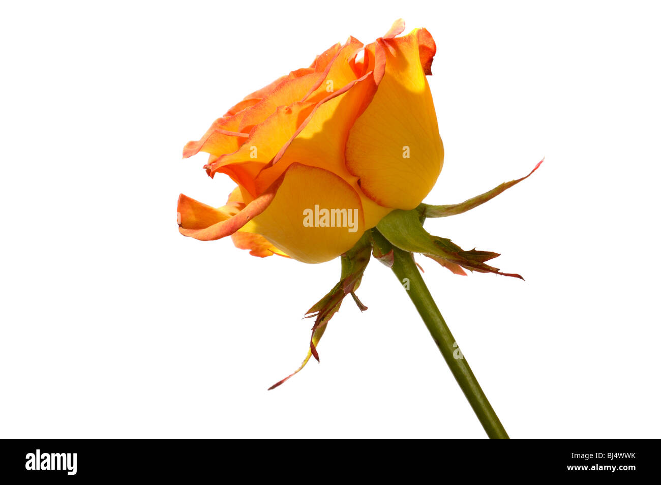 Orange rose side view closeup Isolated silhouette on white backgrounds - Stock Image