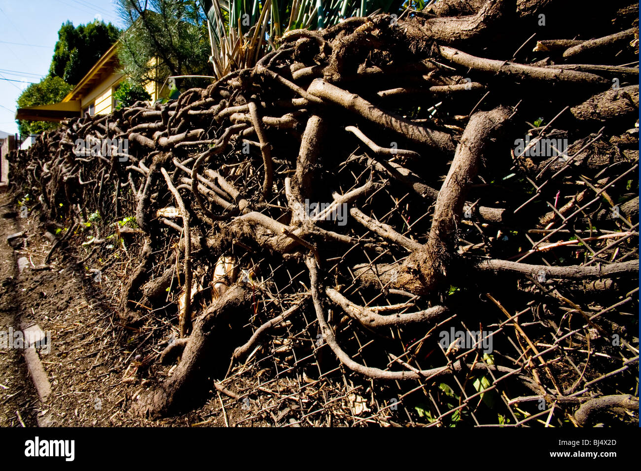 The Tangled Roots Of Algerian Ivy Vine On A Chain Link
