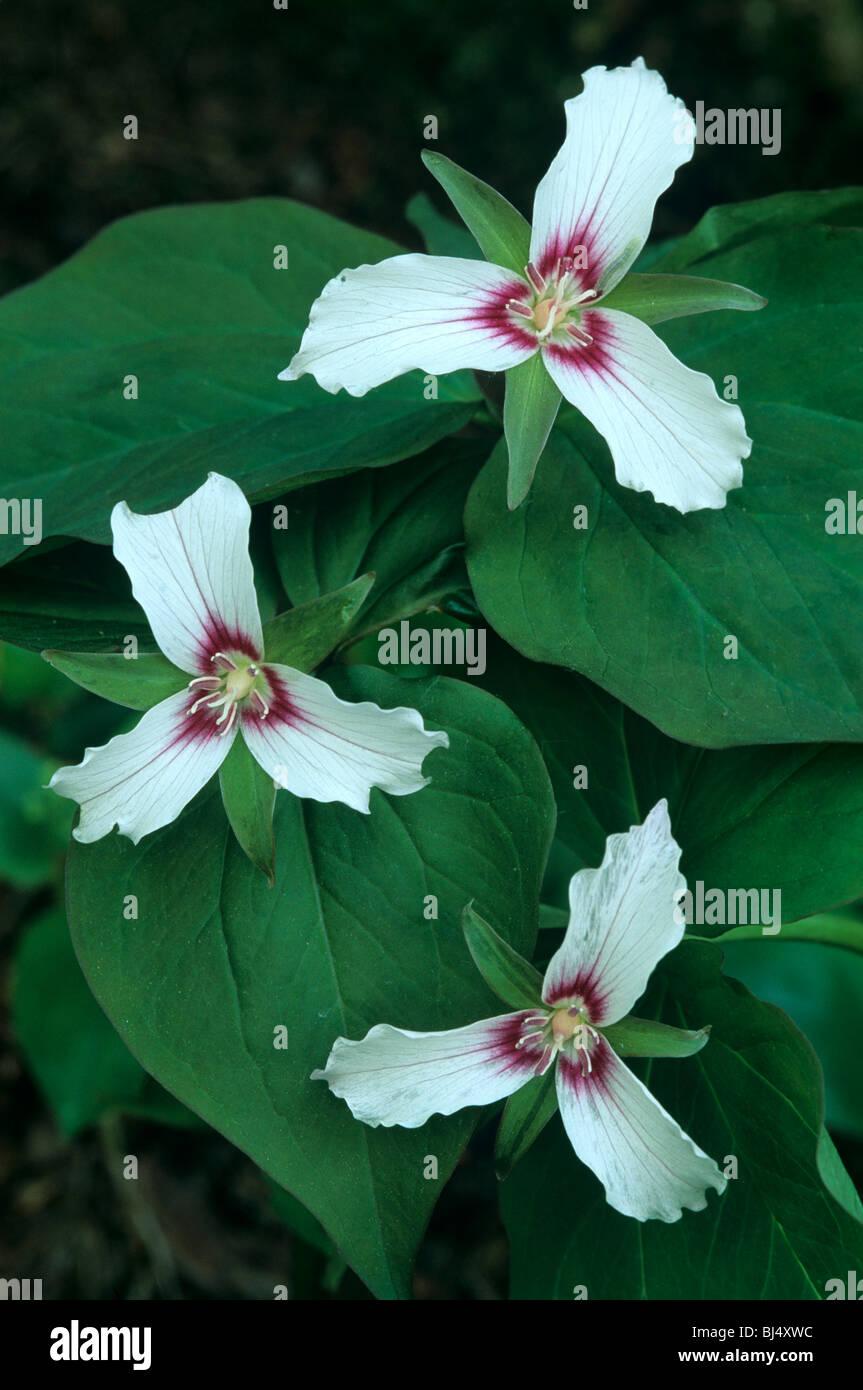 Painted Trillium Trillium undulatum  Eastern and Southeastern USA - Stock Image