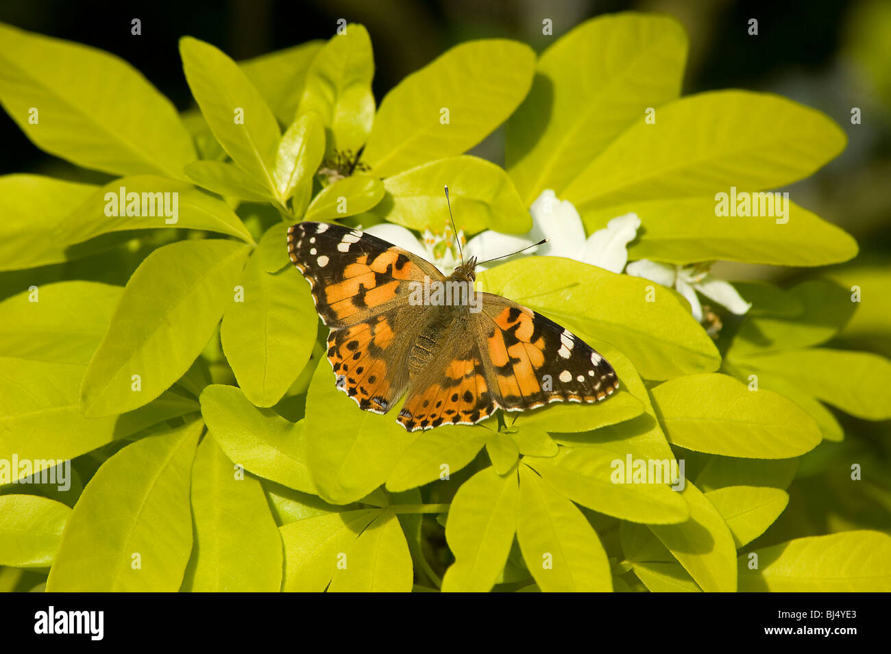 Painted lady basking on Mexican orange blossom, Choisya ternata 'Sundance' with golden leaves in May - Stock Image