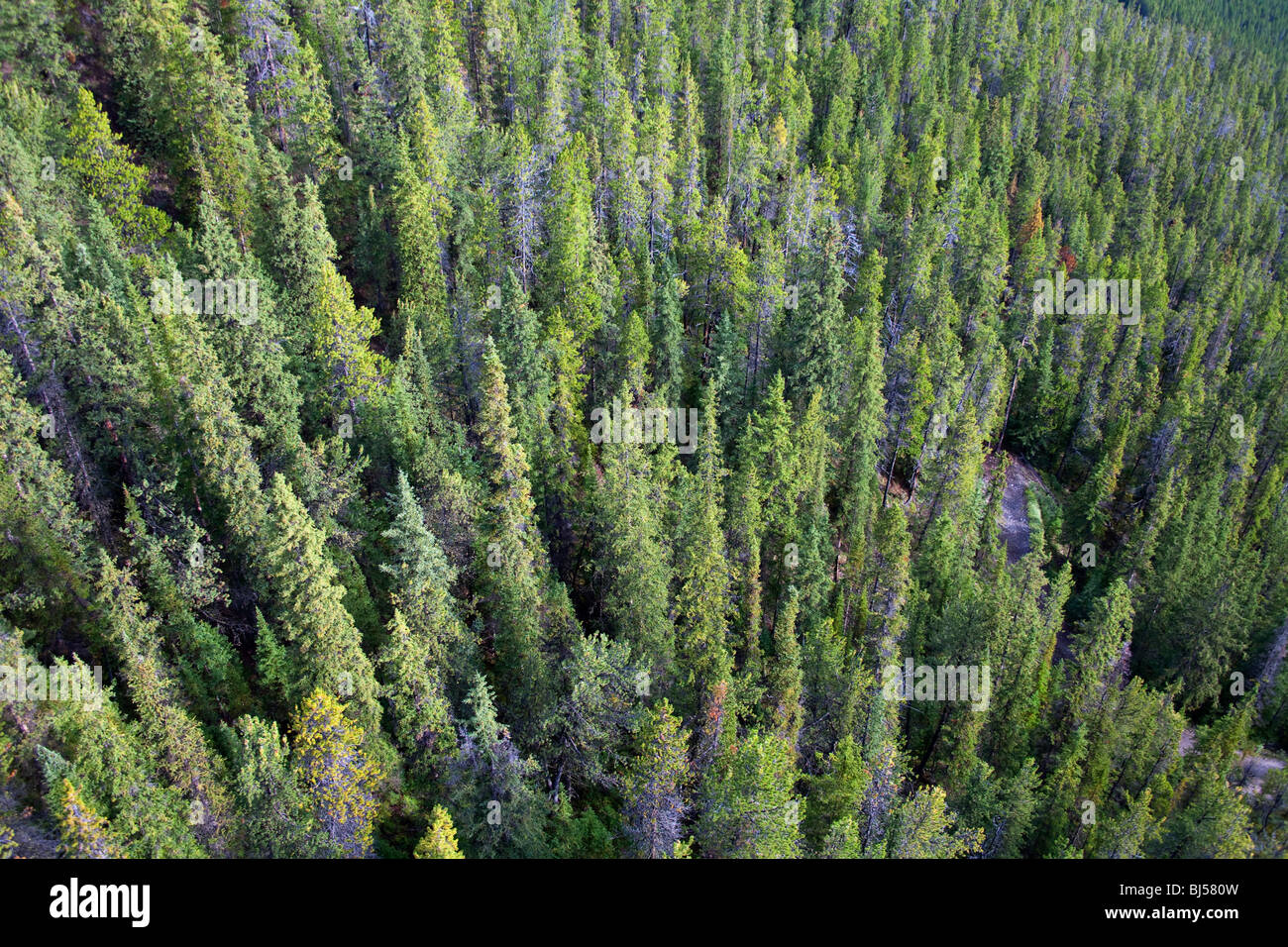 Aerial view of evergreen trees. Banff National Park, Alberta, Canada - Stock Image
