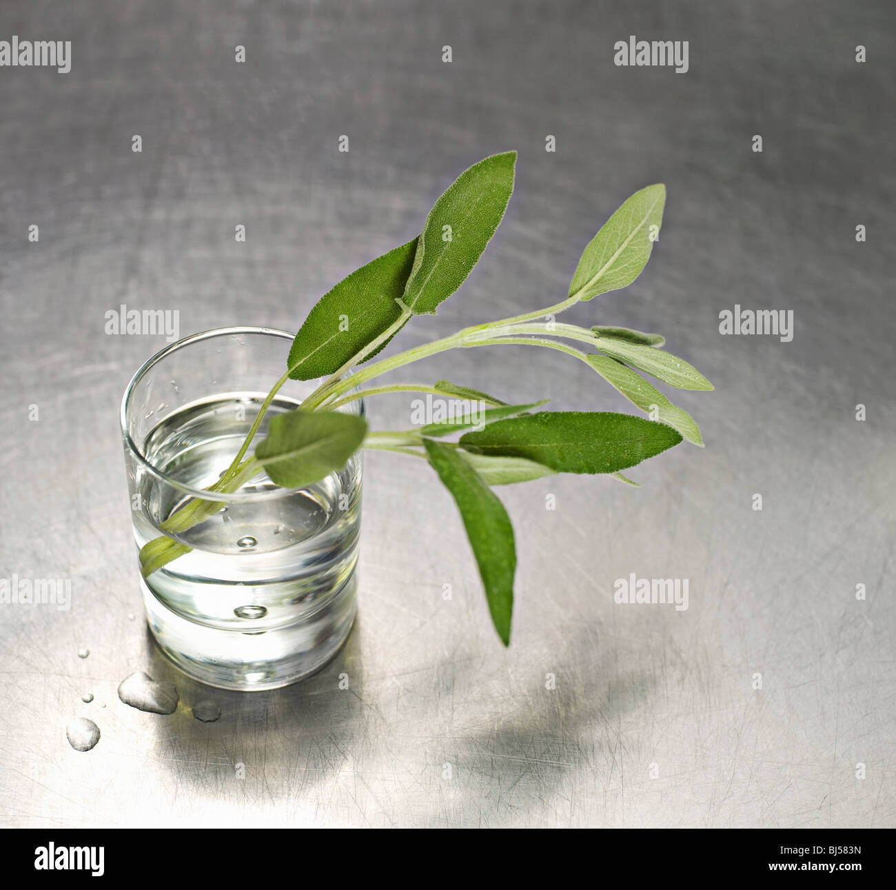 A water glass with a sprig of sage in it - Stock Image