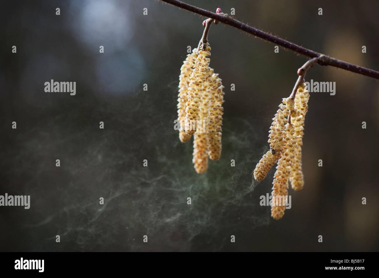 Corylus avellana. Common Hazel catkins releasing pollen in spring. UK Stock Photo